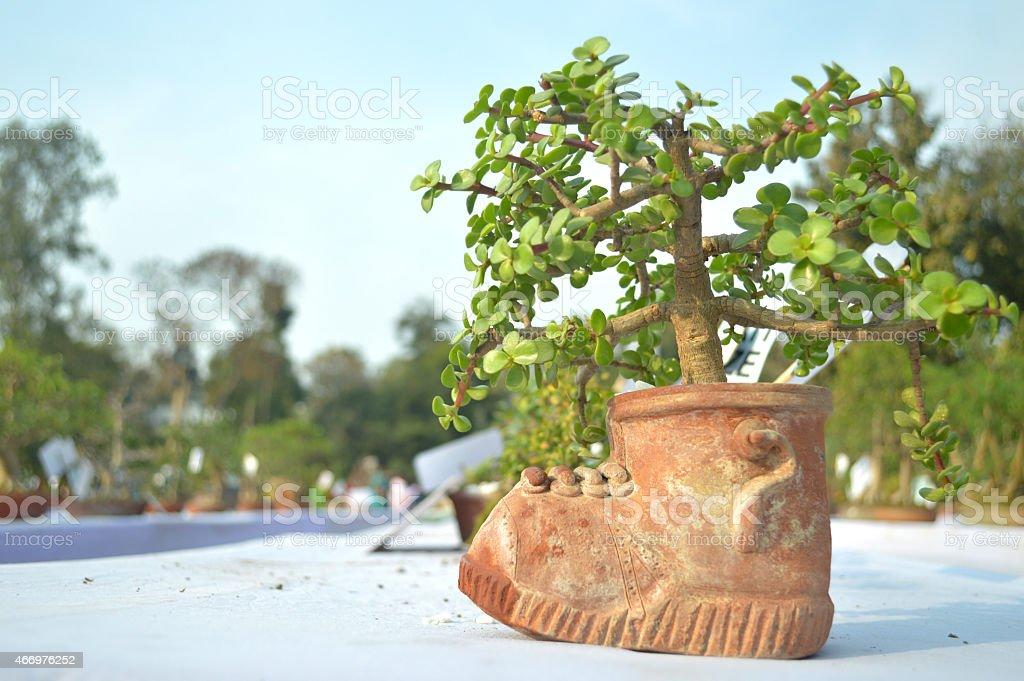 JADE BONSAI TREE CRASSULA stock photo
