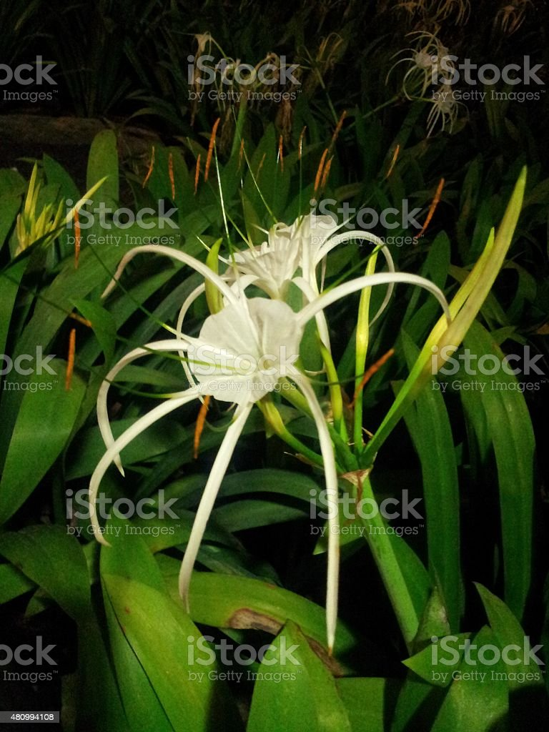 SPIDER LILY (Crinum Asiaticum) stock photo