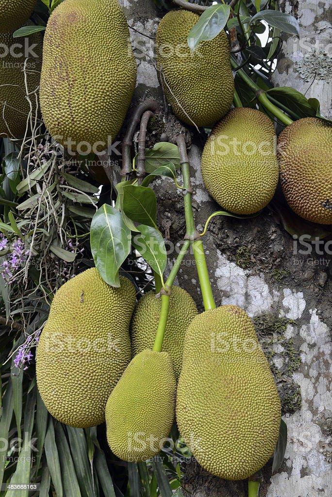 ASIA THAILAND PLANTATION JACKFRUITS TREE royalty-free stock photo