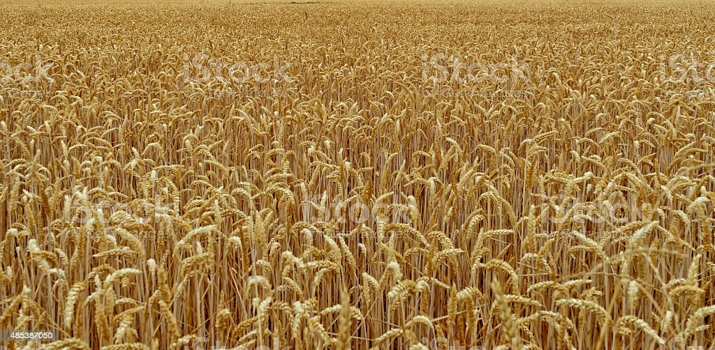 FIELD PLANTED WITH WHEAT stock photo