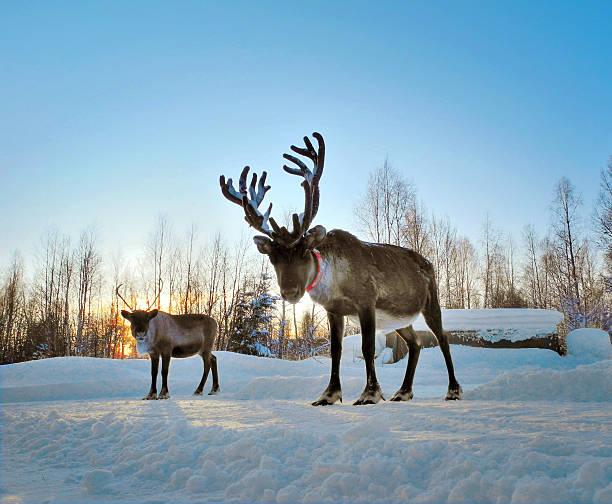 winter - - rentier stock-fotos und bilder