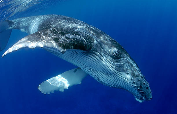 HUMPBACK WHALE HUMPBACK WHALE SWIMMING CLOSE TO SURFACE whale stock pictures, royalty-free photos & images