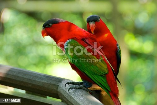 Parrot couple in Jurong Bird Park