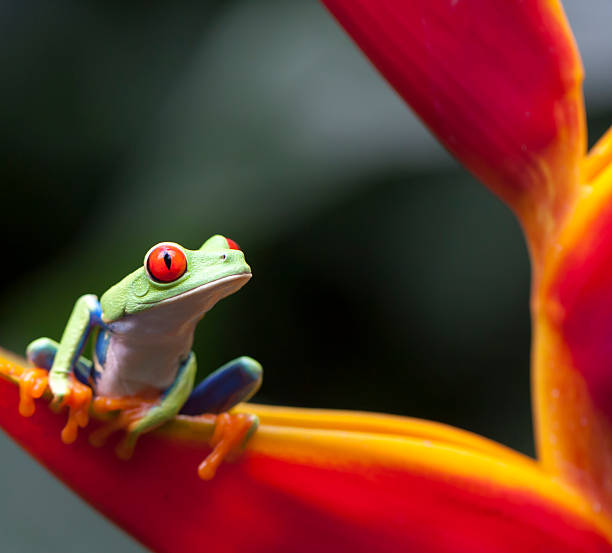 RED EYES FROG, COSTA RICA RED AYES FROG, COSTA RICA WILDLIFE arenal volcano stock pictures, royalty-free photos & images