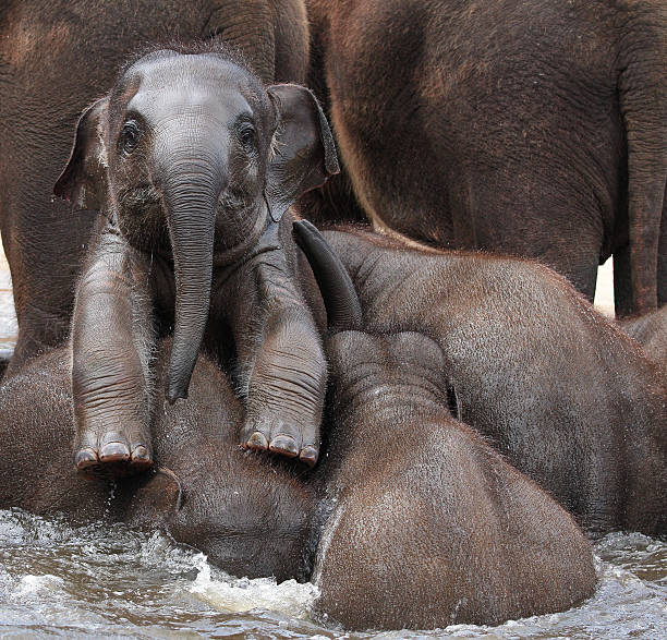 THE LEADER OF TOMORROW an elephant baby is standing with two legs on its elephant calf stock pictures, royalty-free photos & images