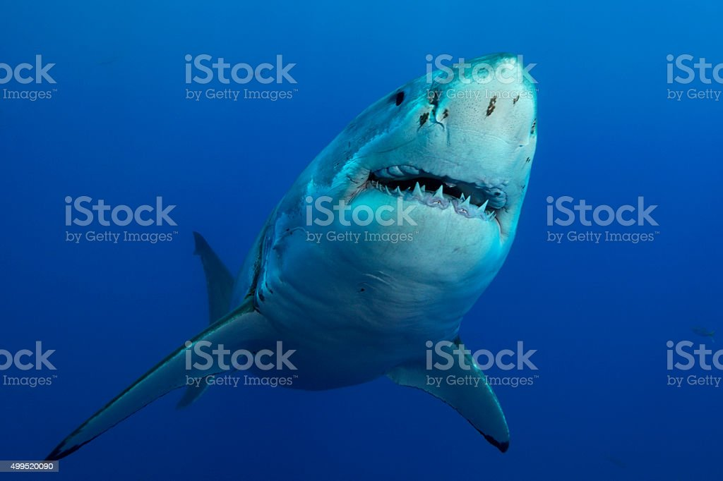 GREAT WHITE SHARK - THE MOUTH stock photo