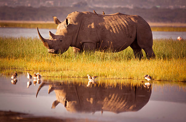 511369165 Rhino Reflection rhinoceros stock pictures, royalty-free photos & images