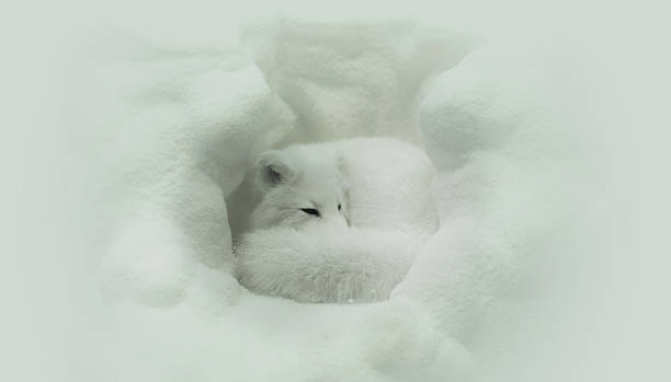 sono de inverno - raposa ártica imagens e fotografias de stock