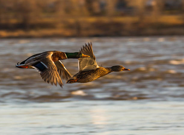 FLYING DUCKS FLYING DUCKS drake male duck stock pictures, royalty-free photos & images
