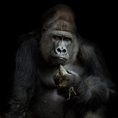 portrait of a silverback, looking frontal into the camera, with his forefingertip on his chin