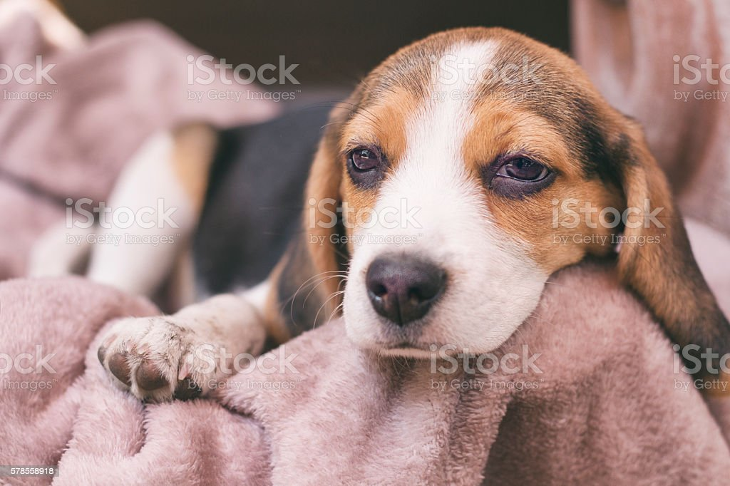 PUPPY BEAGLE TAKING A NAP AFTER PLAYING stock photo