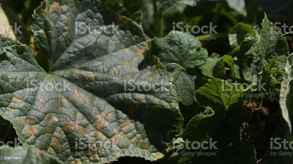 PLANT DISEASE stock photo