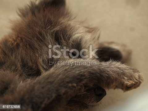SLEEPY DOG HIDING ITS FACE WHILE PHOTOGRAPHING