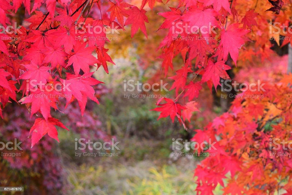 산 속의 단풍/ Lizenzfreies stock-foto