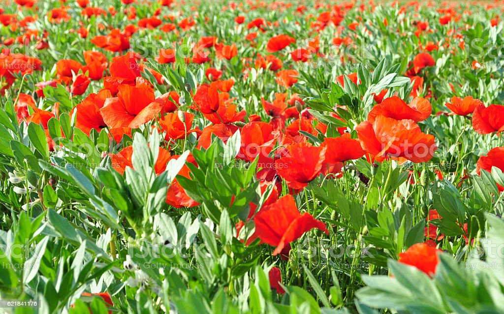 POPPIES FIELD IN SPRING stock photo