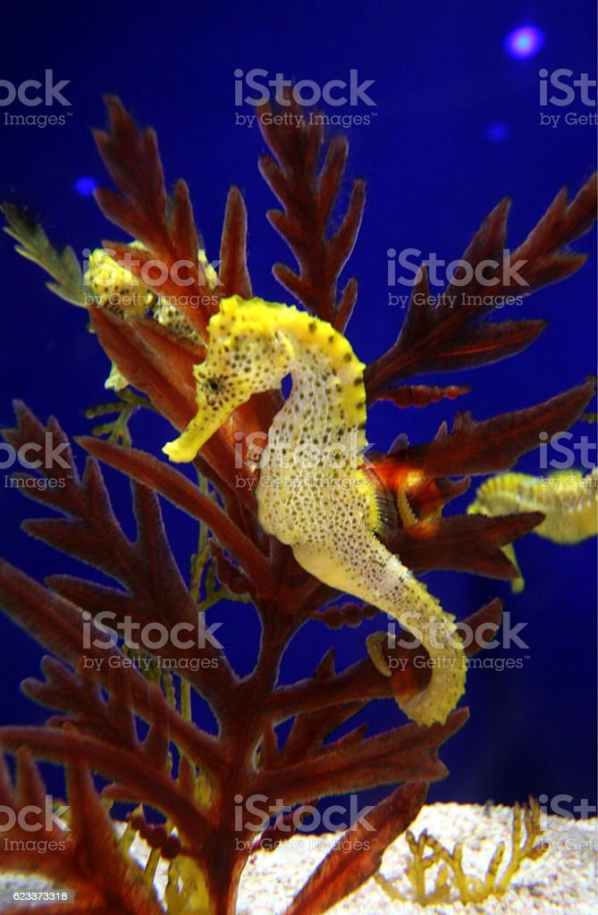 ASIA SINGAPORE CITY SENTOSA  SEAHORSE stock photo