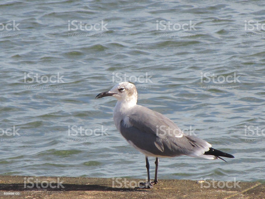 SEA GULL STANDING ON SEA WALL royalty-free stock photo