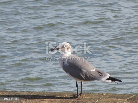 Sea Gull Standing On Sea Wall Stock Photo & More Pictures of Animal Wildlife