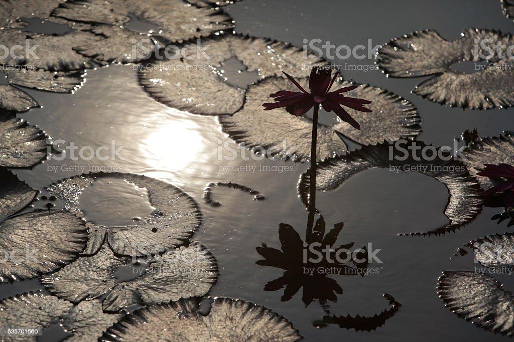 ASIA THAILAND AYUTHAYA NATURE LOTUS FLOWER royalty-free stock photo