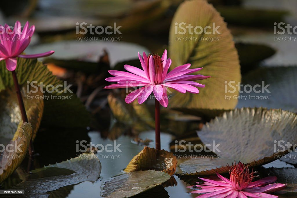 ASIA THAILAND AYUTHAYA NATURE LOTUS FLOWER royalty-free stock photo