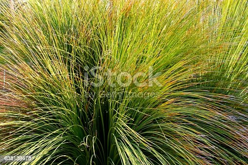 Grass Tree, detail. Asparagaceae family.
