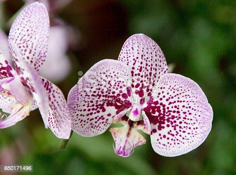 Цветы издали напоминают бабочек, за что фаленопсис иногда называют орхидеей - бабочкой.