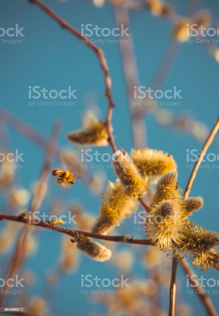 Цветущая ива и медоносная пчела. Солнечный весенний луг foto stock royalty-free
