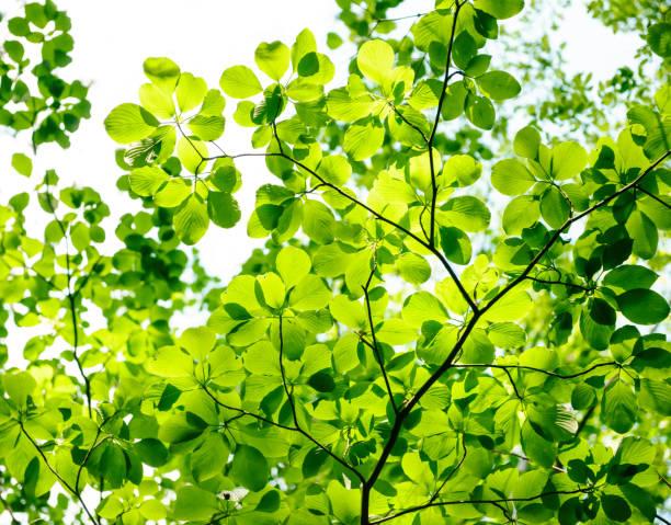新緑の木の葉 - 介護 zdjęcia i obrazy z banku zdjęć