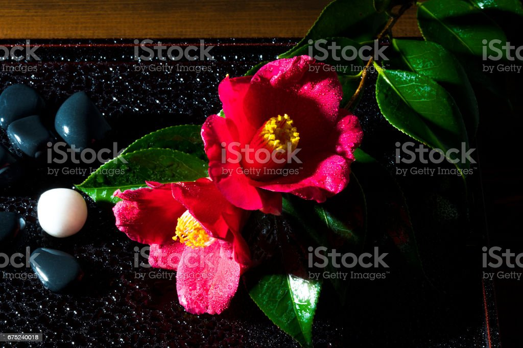 盆に飾られたツバキ royalty-free stock photo