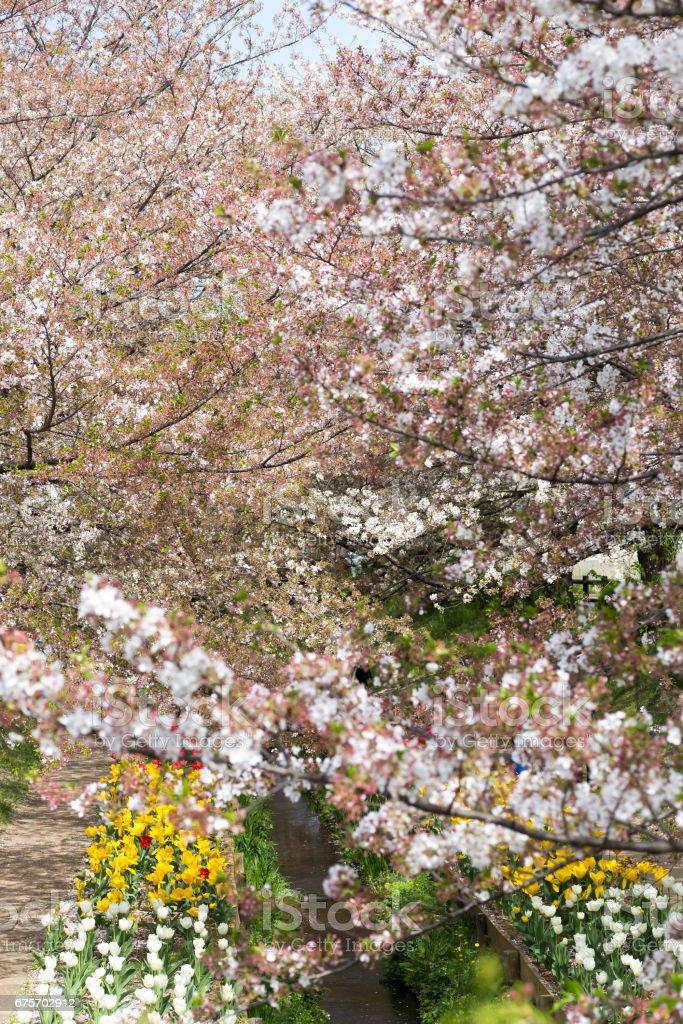 桜並木 royalty-free stock photo