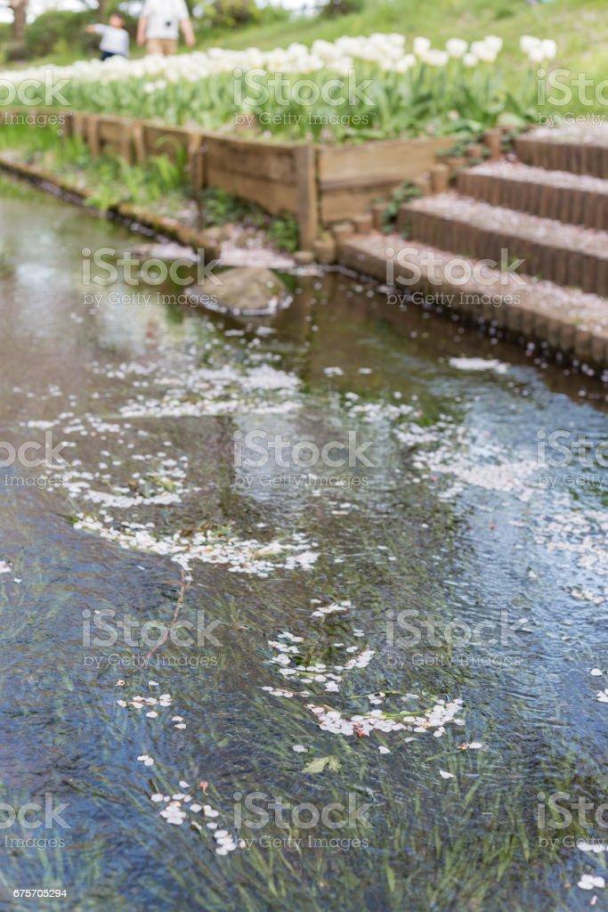 桜並木 免版稅 stock photo