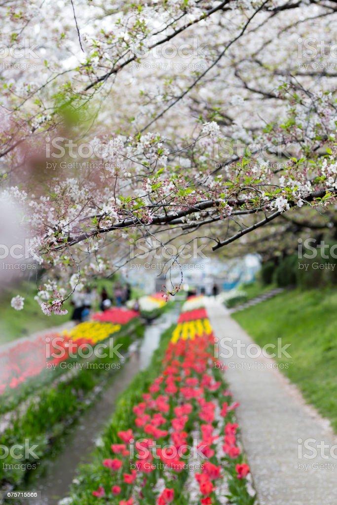桜並木とチューリップ royalty-free stock photo