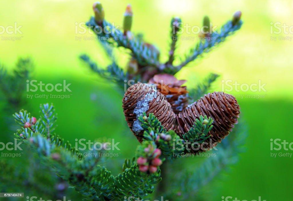 сосновые шишки stock photo