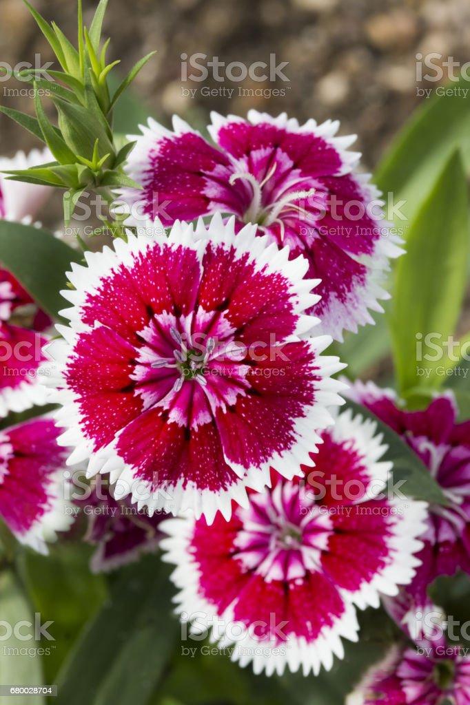 ナデシコ 日本の花 stock photo