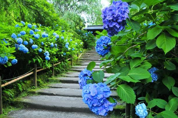 鎌倉のあじさい - prefektura kanagawa zdjęcia i obrazy z banku zdjęć