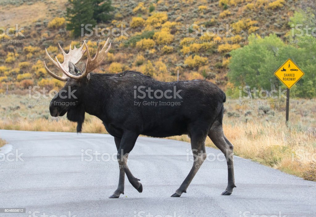 BULL MOOSE CROSSING ROAD STOCK IMAGE stock photo