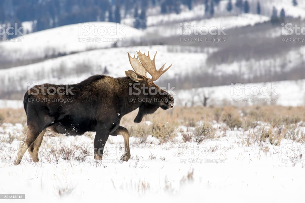 BULL MOOSE IN AUTUMN COLORS STOCK IMAGE stock photo