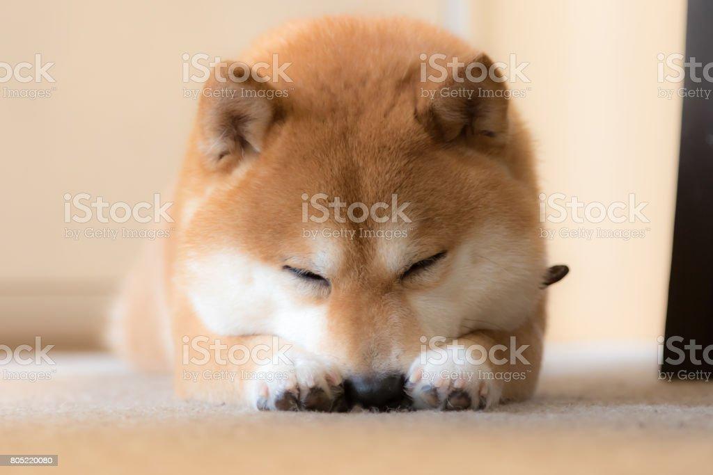 豆柴犬 stock photo