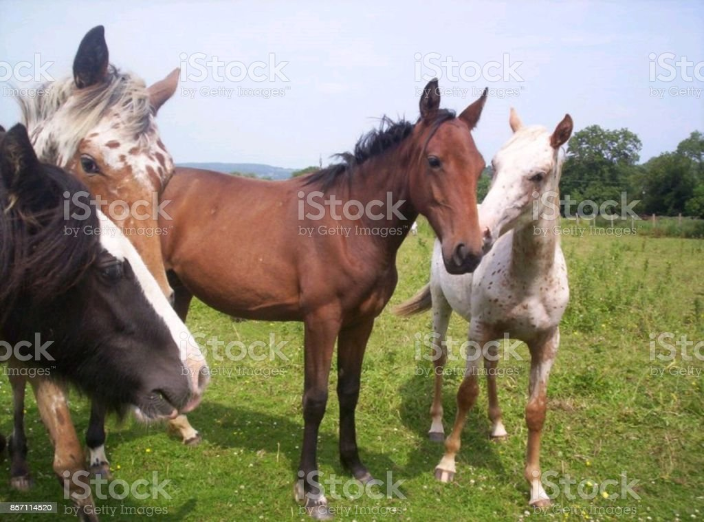 HORSES IN THE FIELD stock photo