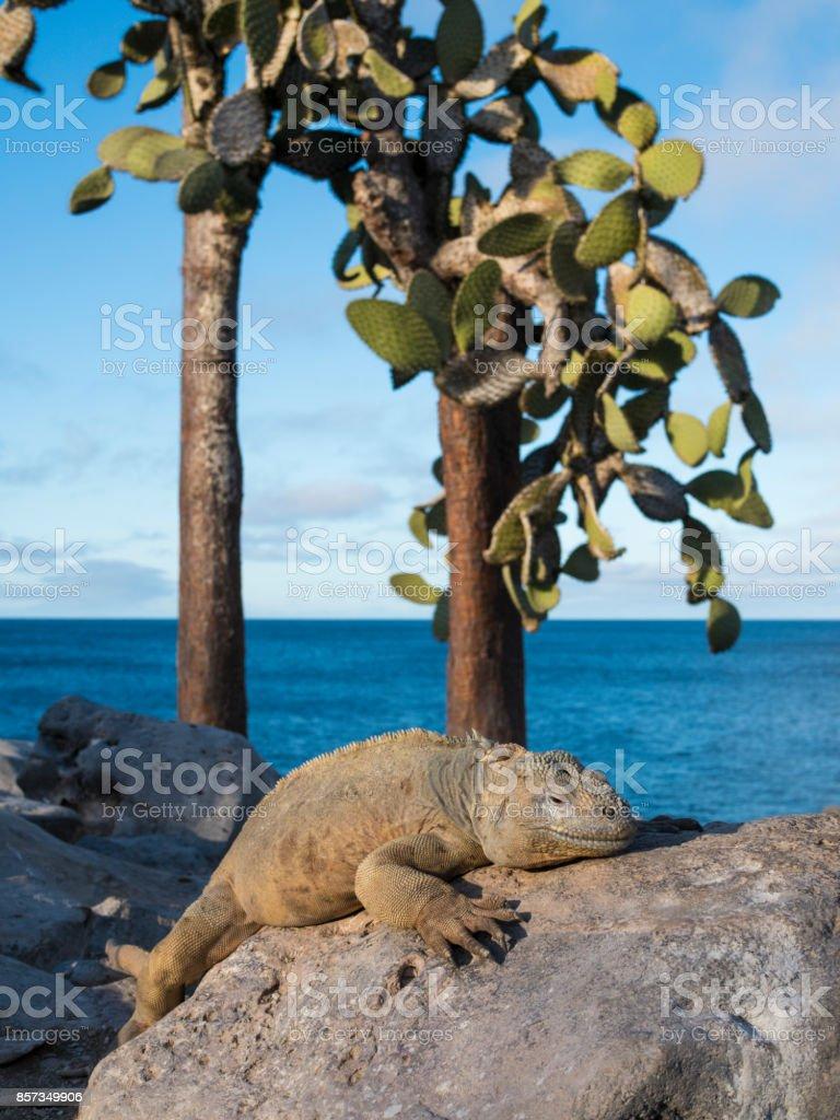 LAND IGUANA -  SANTA FE, GALAPAGOS ISLANDS, ECUADOR stock photo