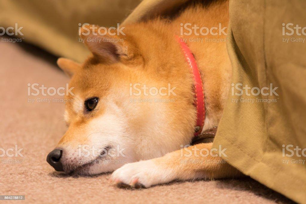 豆柴犬 royalty-free stock photo