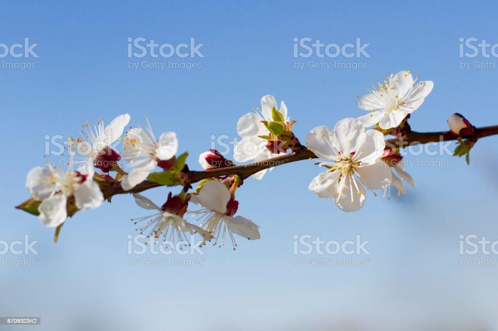 Цветение абрикоса stock photo