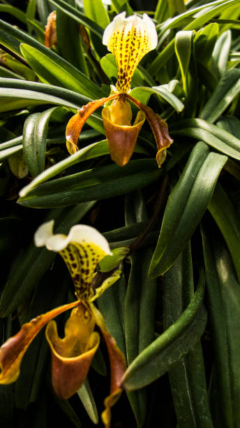 ORQUÍDEAS ORQUÍDEAS vanilla orchid stock pictures, royalty-free photos & images