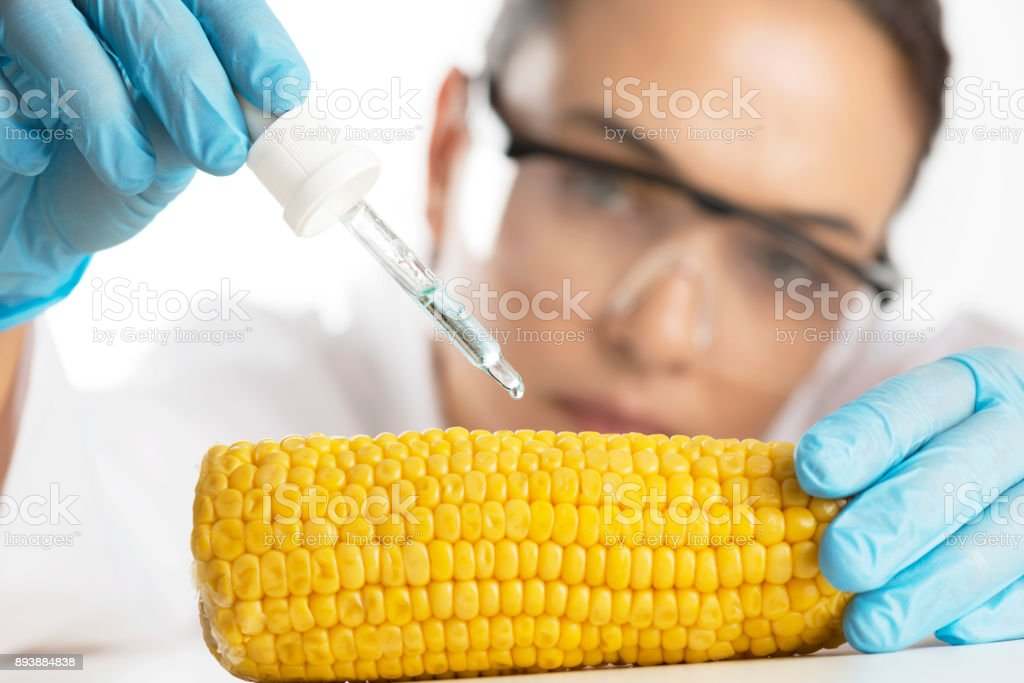 GMO Focused scientist with blue gloves, lab coat and protective eyewear is dropping chemical solution on corncob. Agriculture Stock Photo