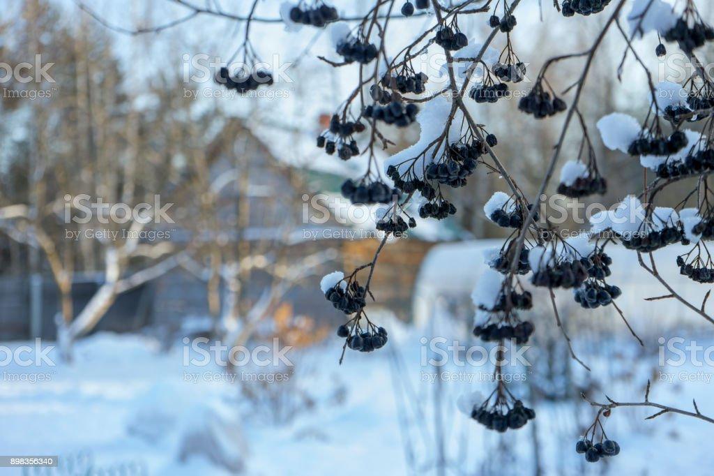 Рябина в снегу royalty-free stock photo