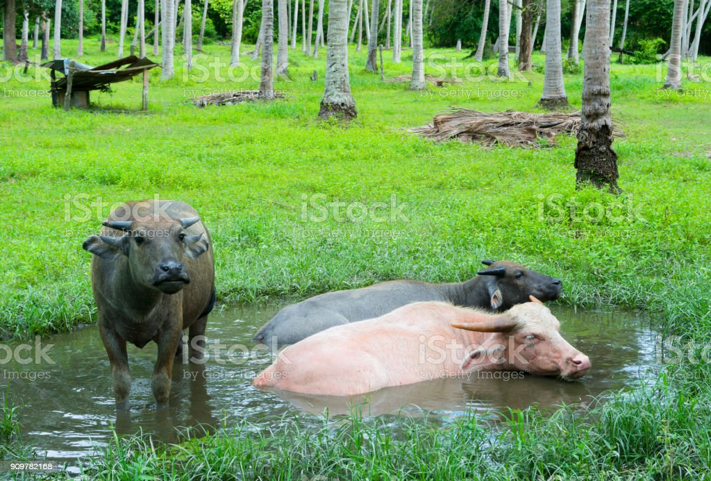 WATER BUFFALOES RELAXING IN SWAMP stock photo