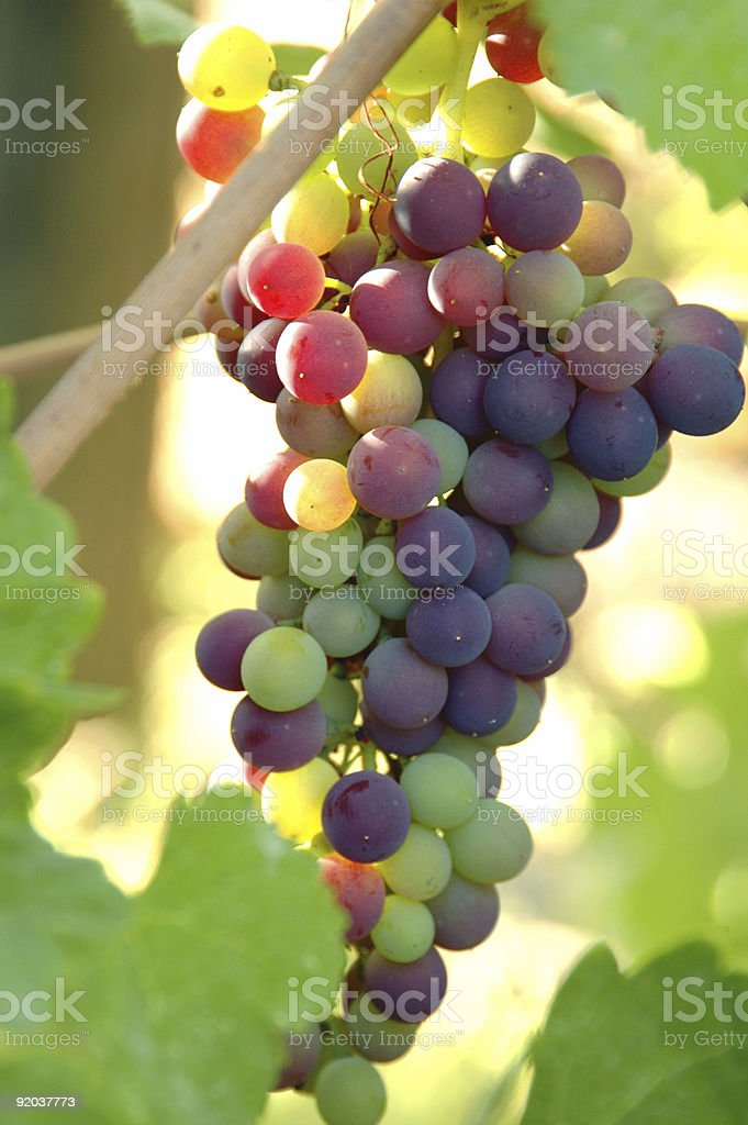 GRAPE CLUSTER 3 royalty-free stock photo