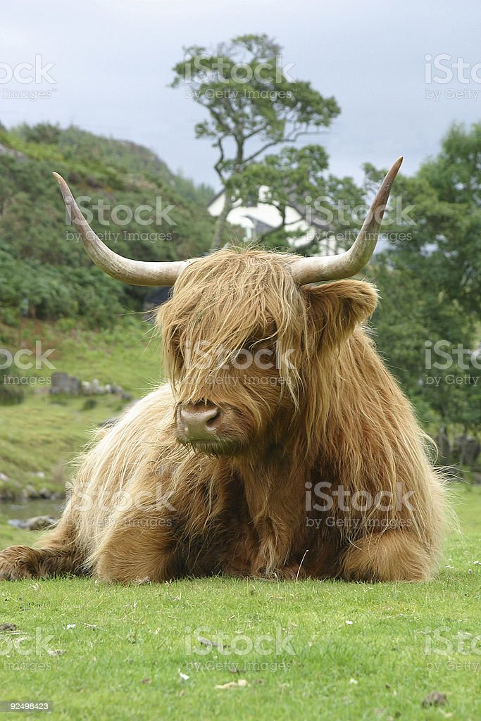 WILD COW IN SCOTLAND royalty-free stock photo