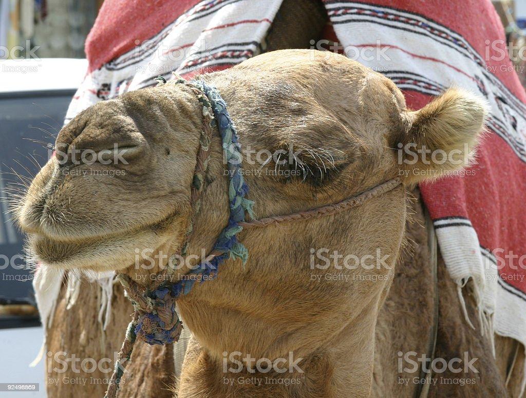 ONE CAMEL royalty-free stock photo