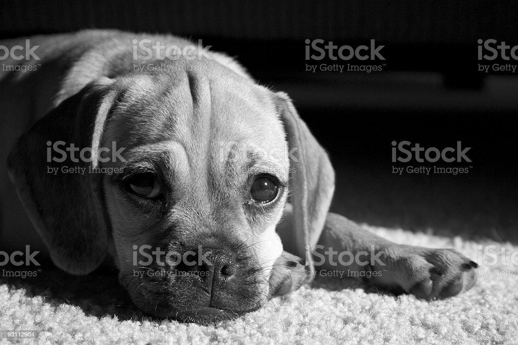M B&W - Royalty-free Beagle Stok görsel